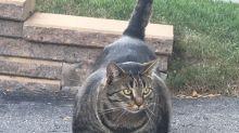 Gato musculoso é descoberto no Canadá e se torna meme
