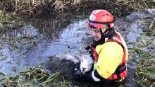 Nine sheep rescued from freezing river in three-and-a-half hour operation