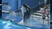 Breaking News Headlines: Killer Whales: Smart, Social and Captive