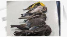 Etats-Unis: au Nouveau-Mexique, des milliers d'oiseaux meurent dans des circonstances mystérieuses