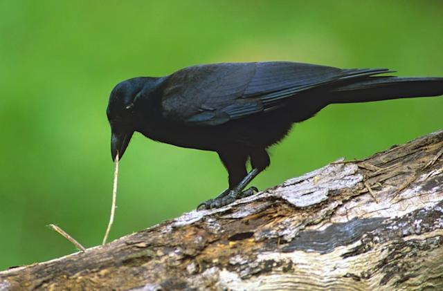Tiny cameras spy on crows making tools