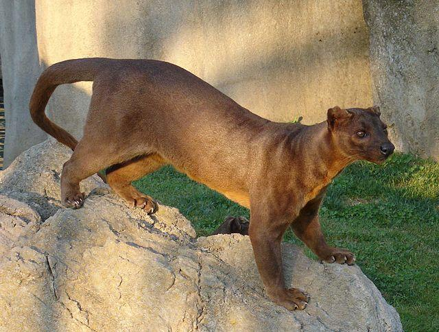 <strong>What is it?</strong> The fossa is a cat-like, carnivorous mammal endemic to Madagascar. It is a member of the Eupleridae, a family of carnivorans closely related to the mongoose family.<br /> <strong>Size:</strong>Adults have a head-body length of 28 to 31 inches.<br /> <strong>Lives:</strong> In low numbers throughout Madagascar in remaining tracts of forest, preferring pristine undisturbed forest habitat.<br /> <strong>Eats:</strong> Predominantly lemurs, but sometimes also reptiles, birds, rodents and crustaceans.<br /> <strong>Fun fact:</strong> One of the more peculiar physical features of this species is its external genitalia. The male fossa has an unusually long penis and baculum (penis bone), reaching to between his forelegs when erect.<br />