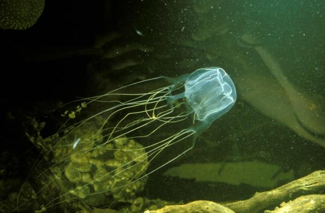 Scientists use synthetic skin to test box jelly sting remedies