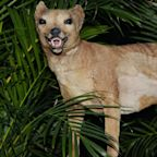 Tasmanian tiger was 'doomed by poor DNA' long before it was wiped out by hunting, scientists say