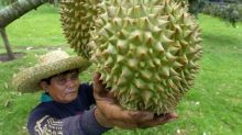 Growing concern over Pahang hill land cleared for Musang King durian farms
