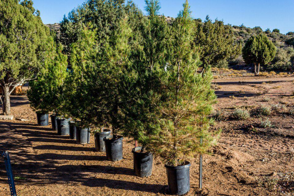 Christmas Tree Farm Arizona.See If You Live Close To The Best Christmas Tree Farm In