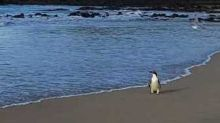 Lost Penguin Who Swam 1,500 Miles Is Released After R&R