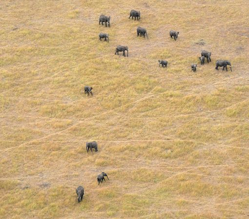Africa's elephants rapidly declining as poaching thrives