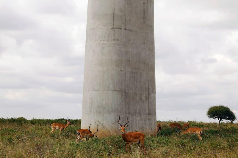 Antelopes graze under a bridge of the Standard Gauge Railway (SGR) line, inside the Nairobi National Park in Kenya