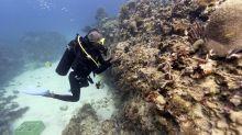AP Photos: Saving Jamaica's coral, an undersea labor of love
