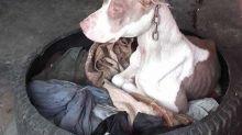 Pitbull es salvada de terrible maltrato animal, ¡y mira qué cambio!
