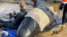 Stranded Pilot Whales: Nearly 400 Whales Dead In Australia's Worst Ever Mass Stranding