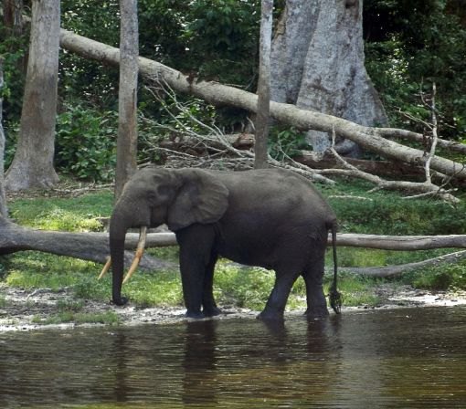 Study sounds alarm for Africa's slow-breeding forest elephants