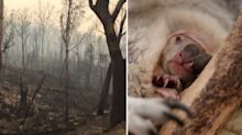 Some baby koalas and kangaroos orphaned by Australian bushfires should be killed, officials say