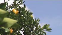 Concerns for Florida Orange crop