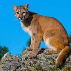 What to do if you come face-to-face with a mountain lion
