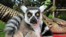 After a lemur was stolen from the San Francisco Zoo, a 5-year-old boy helped zookeepers track it down