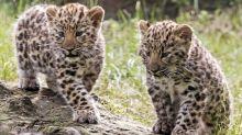 Sólo quedan 84 leopardos del Amur