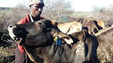 Cattle theft in Kenya is being tackled with remote-tracking chip technology