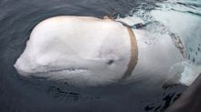 Russian 'spy whale' is making itself at home in Norway, posing for photos and playing 'fetch'