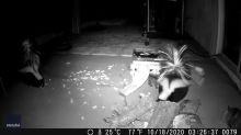 Skunks, Opossum and Raccoon Visit California Backyard