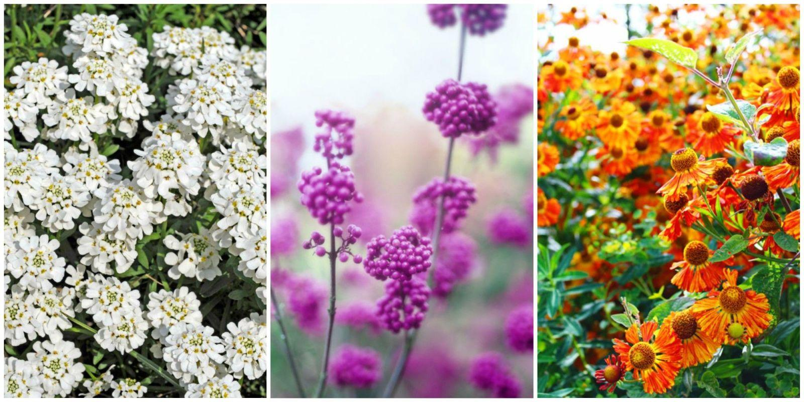 20 beautiful fall flowers and plants for your garden for Popular fall flowers
