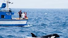 Sorpresa y dudas: los ataques de orcas a humanos desconciertan a los científicos