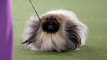 Wasabi the Pekingese wins Best in Show at Westminster and viewers are shocked