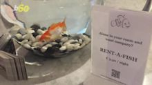 Lonely hotel guests can now rent goldfish for company