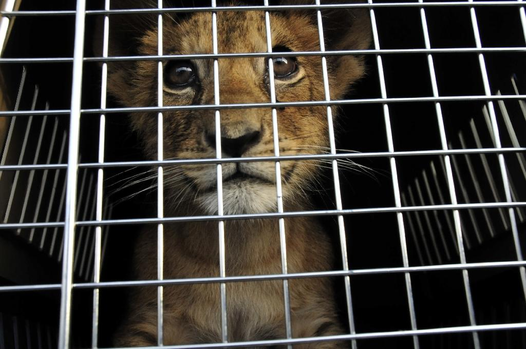 "A lion cub pictured in a cage at an undisclosed location in Lebanon before he was rescued by the NGO ""Animals Lebanon"" seen in a picture taken on October 17, 2011 and released by the NGO on July 20, 2016"