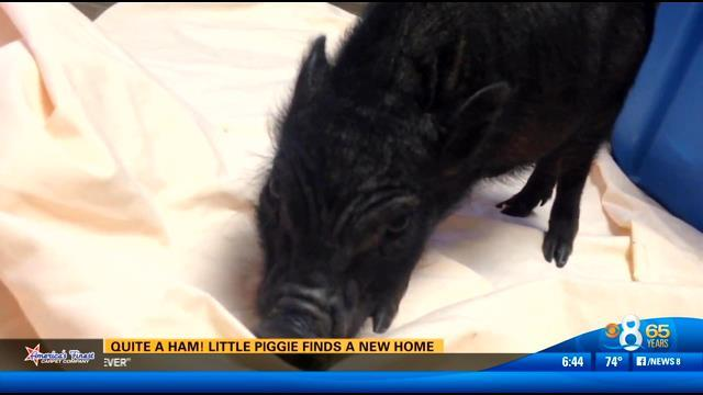 Quite a ham! Little pittie finds a new home