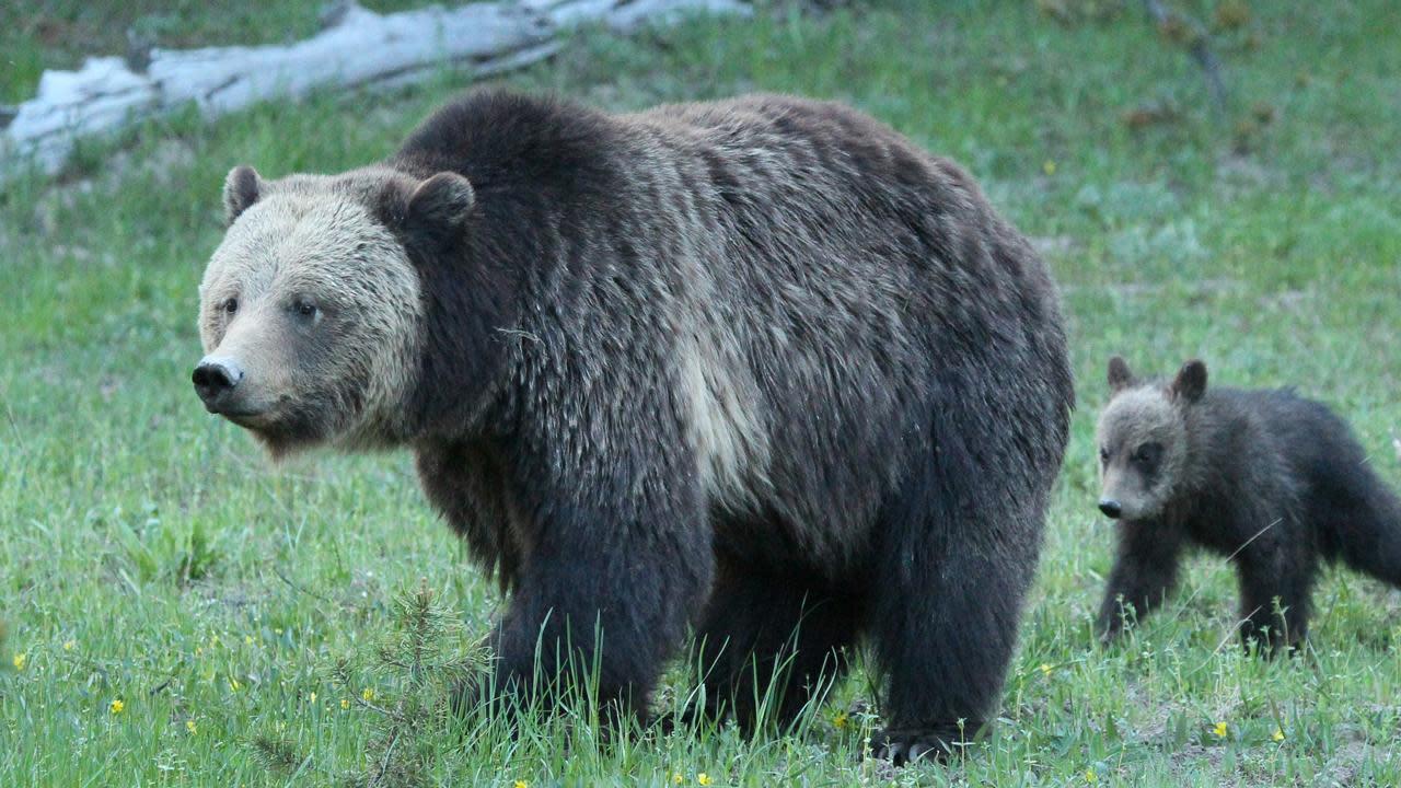 Bear Defending Cub Attacks 10-Year-Old Boy at Yellowstone National Park