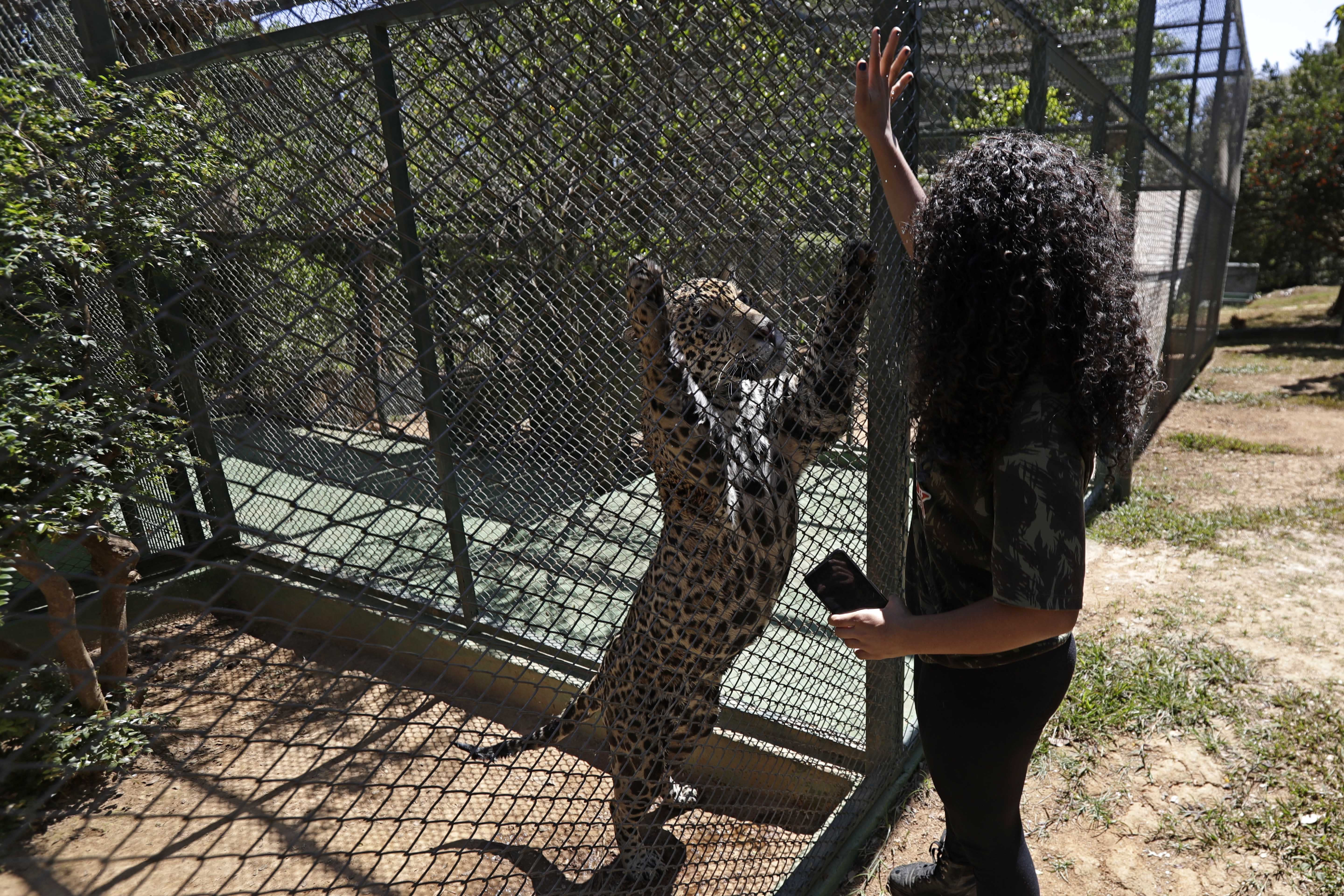 A veterinarian interacts with Jaguar named Guarani, in an integration environment at the headquarters of Nex Felinos, an NGO aimed at defending endangered wild cats, in the city of Corumba, Goias state, Brazil, Sunday, Sept. 27, 2020. Two Jaguars, a male and a female, were rescued from the great Pantanal fire and are receiving treatment with laser, ozone therapies and cell injections to hasten recovery of burned tissue. (AP Photo/Eraldo Peres)