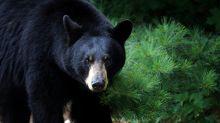 Hombre se enfrenta a un oso para defender sus cervezas