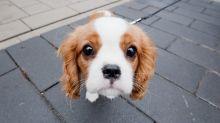 Woher kommt der süße Blick von Hunden?