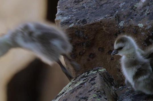 Watch baby geese gliding down a cliffside in the BBC's latest 4K documentary