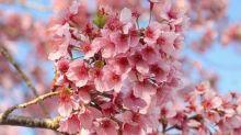 嬌嫩粉櫻超好拍!上山賞花櫻花林下野餐去