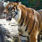 Sumatran tiger Sanjiv attacks keeper at Topeka Zoo & Conservation Center