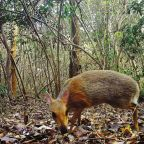 Elusive mouse-deer photographed for first time in almost 30 years