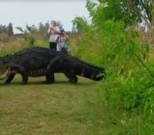 Massive Alligator Strolls Casually Past Florida Tourists