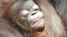 Surprise for English Zoo as Orangutan Gives Birth Despite Negative Pregnancy Tests