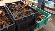 Big lobster landings and high sales growth, but trouble on the horizon for P.E.I. processors