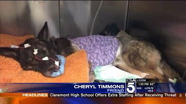 Anaheim Police Officer `Devastated` by Shooting of His K-9 Partner