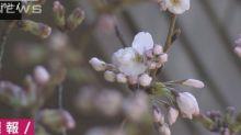 【有片】東京櫻花開 比上年早4日
