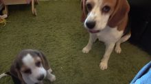Beagle rats out puppy for mess on carpet