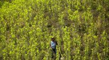 Potential Colombian cocaine production jumps 31 percent