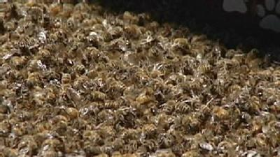 Gold River Beekeeper Loses Thousands