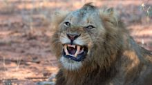 Suspected Poacher Killed By Elephant, Remains Eaten By Lions In South Africa