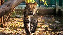 """In a Himalayan Indian village, """"leopards escort humans safely"""""""