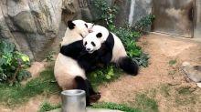 La pareja de pandas que logró aparearse (en la privacidad de la cuarentena) después de 10 años de intentarlo
